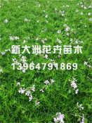 芝樱种植 潍坊口碑好的芝樱小苗值得信赖