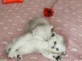 可托运送活 折耳幼猫一窝出售 公母都有 疫苗驱虫已做