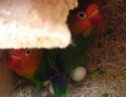 转让繁殖的幼爱情鸟