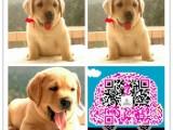 杭州正规犬舍繁殖出售精品拉布拉多犬 疫苗驱虫齐全 可签订
