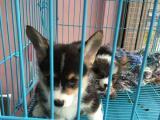 世界名犬养殖基地出售萨柯基 真金不怕火炼可上门看狗