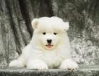 出售微笑萨摩耶犬 保证 纯种健康终身质保饲养指导