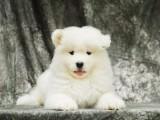 常年出售澳版萨摩幼犬 骨量 毛量 品相全到位健康