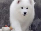 哪里有卖萨摩耶萨摩耶多少钱萨摩耶图片萨摩耶幼犬
