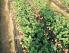大洼榆树草莓采摘