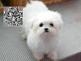 哪里出售马尔济斯犬 纯种马尔济斯犬多少钱