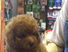 棕色泰迪一只带笼子和两个月食物
