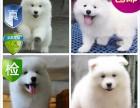 重庆专业~培育 熊版萨摩耶幼犬 签订购犬协议