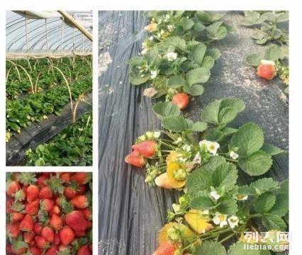 春季草莓采摘园
