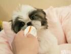 正规犬舍繁殖 纯种西施犬 包细小犬瘟 签订协议