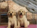 出售家养纯种重庆拉布拉多幼犬 24小时可随时与我联系保纯健康