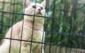 广州本地家养英短蓝猫蓝白梵白橘猫健康纯种