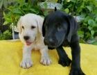 纯种拉布拉多幼犬出售 宽嘴大头品相好 高智商