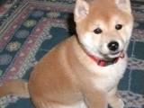 秋田犬多少钱 日系秋田犬各种档次都有 保证健康纯种