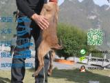 哪一家宠物店卖纯种健康的马犬多少钱一只
