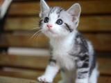 纯种美短猫虎斑美短加白起司美国短毛猫