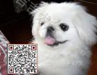 京巴多少钱,哪里有京巴犬,纯种京巴出售,包纯包健康