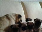 家养一窝纯种巴哥幼犬宝宝出售。可送货可上门 签协议