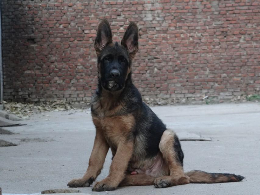 纯种警用德国牧羊犬,黑背,锤系德牧,看家护院首选