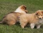 哪里有卖苏克兰牧羊犬苏牧多少钱苏牧幼犬