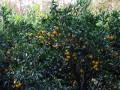 桔子熟啦!来长兴岛桔园农庄做拓展免费吃桔子