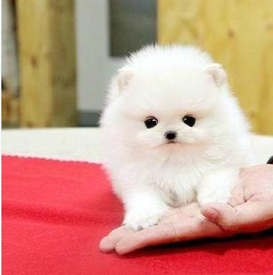 舟山什么地方有狗场卖宠物狗/舟山哪里有卖博美犬