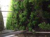 蓬莱松-蓬莱松苗-蓬莱松种苗