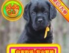 出售纯种拉布拉多幼犬 赛级品质 健康质保 免费送