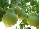 供應 梅州沙田柚子果客家