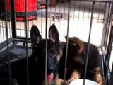 专业繁殖基地出售纯种德国牧羊犬