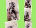 孟梦家的美短猫咪