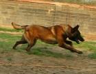 随州什么地方有狗场卖宠物狗/随州哪里有卖马犬