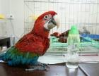 出售正宗越南鹩哥 僧人鹦鹉 金太阳鹦鹉 小太阳鹦鹉 吸蜜鹦鹉