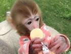 活体小石猴,宠物猴