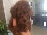 小体泰迪,自己家小狗生的头窝宝宝