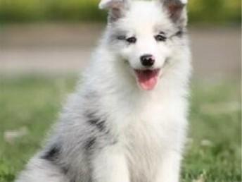 纯种带证边牧犬出售支持来犬舍选购支持送货上门