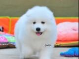 南京哪里出售纯种健康的萨摩耶幼犬 南京萨摩耶是精品中的精品
