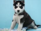 三火蓝眼哈士奇幼犬出售宠物犬哈士奇哪个宠物市场