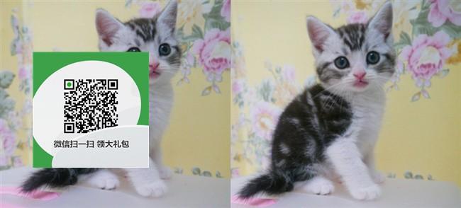楚雄哪里有虎斑猫出售 楚雄虎斑猫价格 楚雄宠物狗出售信息