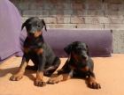 纯种杜宾狗狗卖 杜宾犬舍繁殖 疫苗驱虫做齐