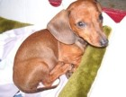 海口哪有腊肠犬卖 海口腊肠犬价格 海口腊肠犬多少钱