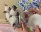 自家繁殖暹罗小猫健康可爱种纯