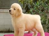 骨骼健硕身体健康的金毛犬找新家 放心选购幼犬
