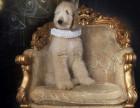 阿富汗猎犬图片,阿富汗猎犬多少钱一只