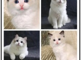 布偶猫幼猫幼崽重点海豹色家养出售小猫咪欢迎上门