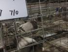 鸽子肉鸽养殖场批发肉鸽子种鸽子