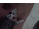 卖英短萌萌小猫崽啦