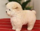 本地出售韩系娃娃脸泰迪犬 毛色毛量足
