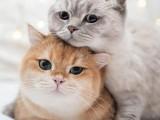 河源源城活体宠物猫 正规猫舍自己繁育 现货出售