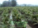 供应老人葵袋苗,自然高度2米,150元